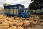 Saviem SM8 bétaillere à moutons